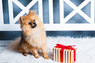The pomeranian spitz is laying on the white plaid with in red stripes present. Concept of preparation to the NEw Year or Christams