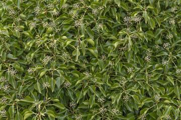 Gemeiner Efeu- Grünpflanze - Nahaufnahme