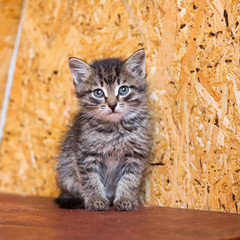 A small gray kitten without a breed sits on a wooden shelf