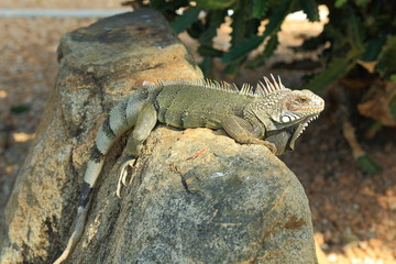 Closeup view on green cute iguana sitting on the stone. Aruba Island. Nature backgrounds