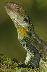 Water Dragon, Physignathus lesueuri, close-up of head and front legs, sitting on moss.
