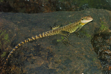 Water Dragon, Physignathus lesueuri, sitting on rock next to river, whole body and tail visible.