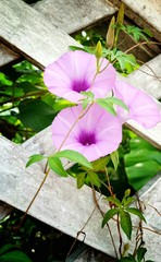 purple flower blossom and green leaves on old brick wall background