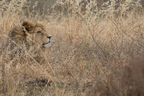 Lion_14