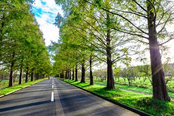 メタセコイア並木と道路