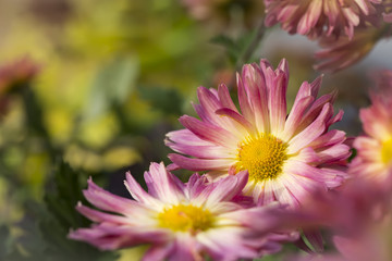 Chrysanthemum flower in warm sunny autumn day, macro, close up