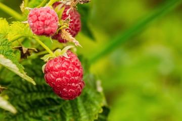 Berry raspberries in nature closeup
