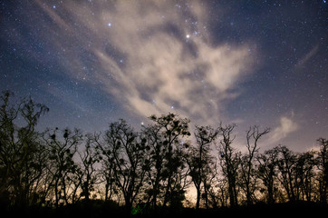 Constellation of Taurus rising above silhouettes of large old trees with clouds enriching this picturesque natural landscape