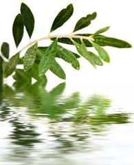 pluie sur rameau d'olivier
