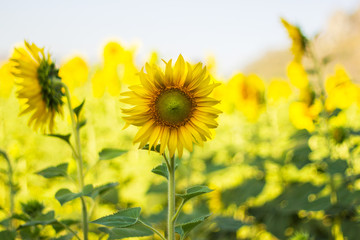Beautiful Closeup Helianthus or sunflower, Bright yellow in Sunflower Field