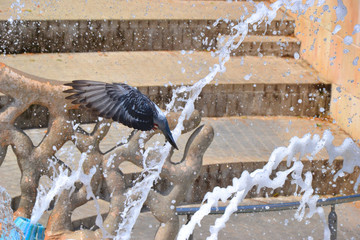pigeons at the fountain