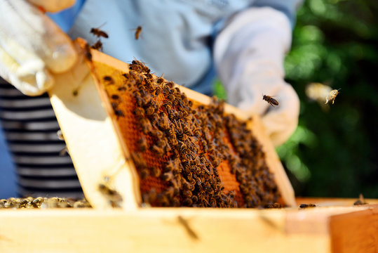 Beekeeper holds a honey cells with bees in his hands.