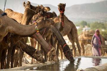 Camel eats and drink water in Pushkar desert during Pushkar Camel Fair