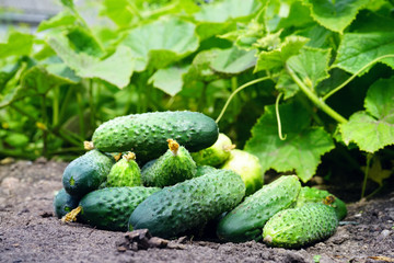 Group of fresh beautiful young cucumbers on the ground against a background of juicy green leaves. Harvesting of cucumbers plants.