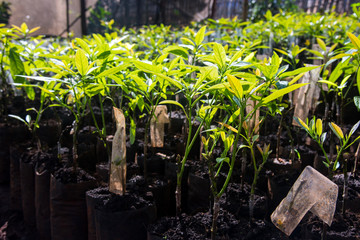 seedlings of avocado in black bags for planting in the garden.