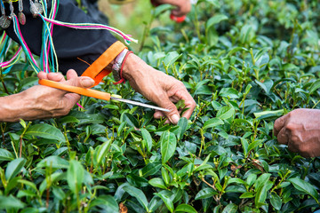 Old woman's hand are collecting tea leaves at the tea plantation,Chiangmai Province,Thailand.