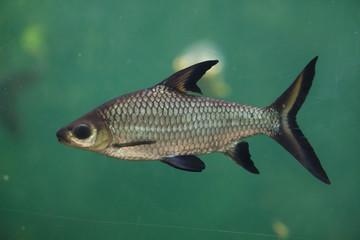 Bala shark (Balantiocheilos melanopterus)