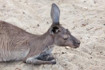Western grey kangaroo (Macropus fuliginosus melanops)