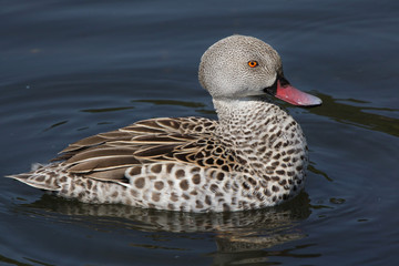 Wall Mural - Cape teal (Anas capensis)