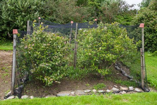 Blueberries growing under net in garden allotment