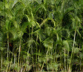 palm tree background - tropical  jungle, palm trees -