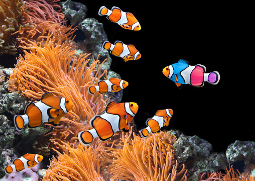 Flock of standard clownfish and one colorful fish