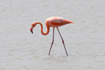 Schöner Flamingo in der Karibik
