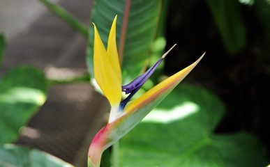 The bird of paradise flower