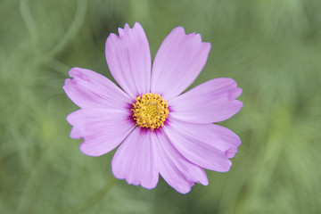 Pink flower Cosmos sensation isolated