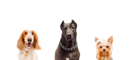 Portrait of three dogs isolated on white background