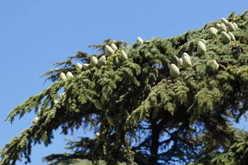 cones of Chilean cedar on branches