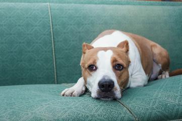 terrier dog resting indoor antic sofa room