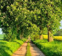 Fototapete - Allee mit blühenden Kastanienbäumen im Frühling