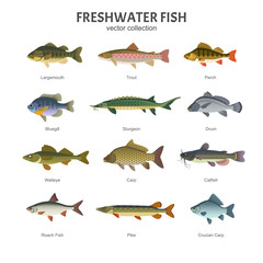 Freshwater fish set. Vector illustration of different types of fish, such as Largemouth Bass, Trout, Perch, Bluegill, Sturgeon, Drum, Walleye, Carp, Pike, Roach Fish and Catfish. Isolated on white.