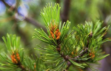 Fresh branch of fir tree with fir cones closeup