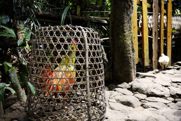 Colored chicken inside a cage, Tenganan, Bali, Indonesia