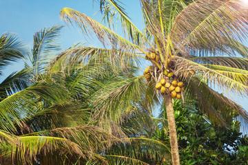 Beautiful Tropical Coconut Palm Tree on a Sky Background.