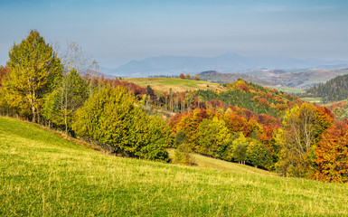 forested rural hillsides in autumn. trees with red foliage on a grassy slopes of Carpathians. mountain ridge with high peak slightly visible in the far distance