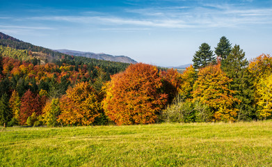 forest with red foliage on grassy hillside. beautiful landscape of Carpathian mountains in autumn