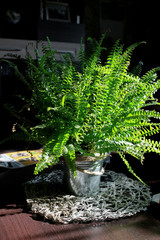 House plant, fern in the flowerpot in the room with sunlight and shadow