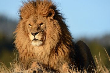 Different close up view of a lion head
