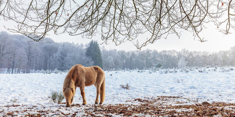 Winter scene with snow and brown Konik horse at the Dutch Veluwezoom