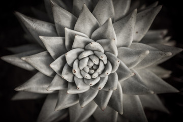 Kaktus | schwarz weiß