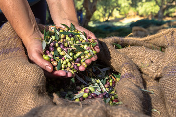 Woman keeps some of the harvested fresh olives in a field in Crete, Greece for olive oil production.