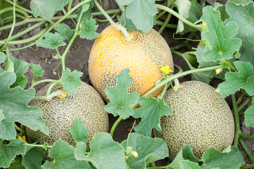 Three melons and plant
