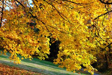 Maple tree in autumn. Golden fall foliage. Burnaby Mountain park near SFU. Vancouver. British Columbia. Canada.