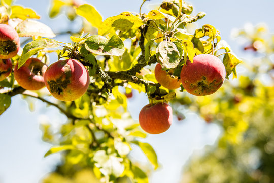 apple tree  Fungal Attacks  Apple Scab  Powdery Mildew  Cedar-Quince Rust  Phytophthora Rots fungus branches with fruit