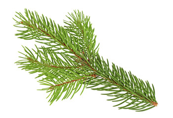 Green branch of spruce isolated on white background