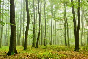 Naturnaher Mischwald mit Nebel