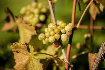 organic grapes on a vine